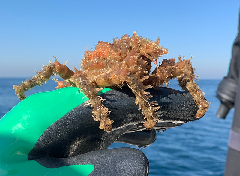 Crab freed from fishing line<br /> Spongehenge, Hermosa Artificial Reef, Los Angeles County, California