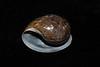 Gould's bubble snail shell, Bulla gouldiana<br /> King Harbor, Redondo Beach, Los Angeles, California