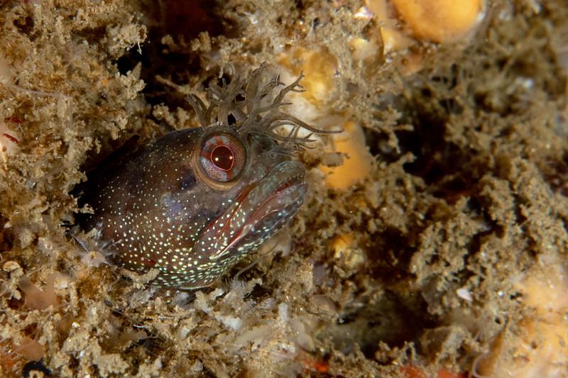 Yellowfin fringehead, Neoclinus stephensae<br /> Biodome, Palos Verdes, Los Angeles County, California