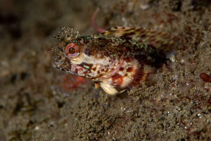 Yellowfin fringehead<br /> Golf Ball Reef, Palos Verdes, California