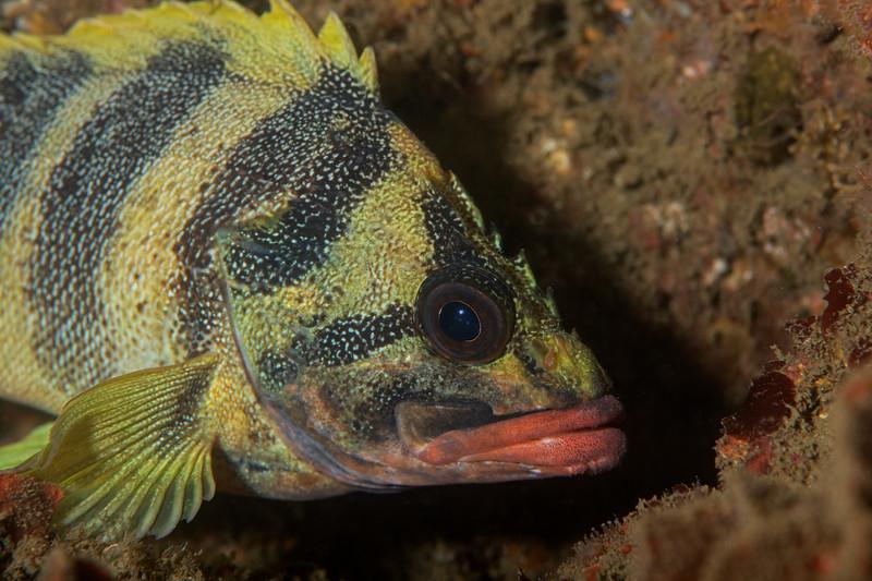 Treefish<br /> Kevin's Reef, Palos Verdes, Los Angeles County, California