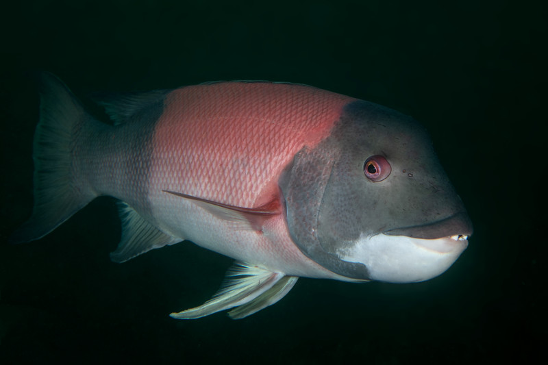 Male sheephead<br /> Biodome, Palos Verdes, Los Angeles County, California