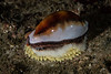 Chestnut cowrie laying eggs<br /> Golf Ball Reef, Palos Verdes, California