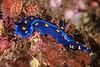 Felimare californiensis<br /> Kevin's Reef, Palos Verdes, Los Angeles County, California