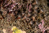 Elongate zoanthid, Epizoanthus leptoderma<br /> Haggerty's, Palos Verdes, Los Angeles County, California