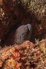 California moray eel, Gymnothorax mordax<br /> Kevin's Reef, Palos Verdes, Los Angeles County, California