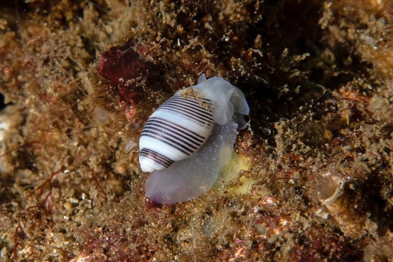 Rictaxis punctocaelatus<br /> Biodome, Palos Verdes, Los Angeles County, California