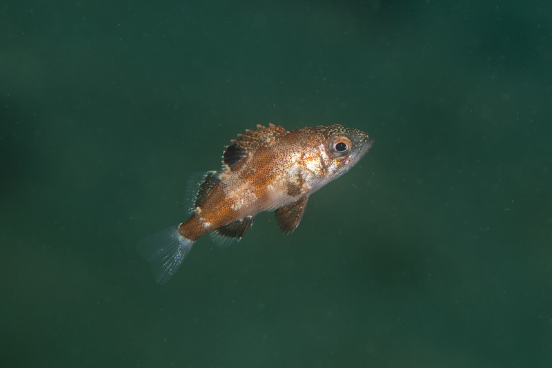 Juvenile vermilion or sunset rockfish<br /> Golf Ball Reef, Palos Verdes, California