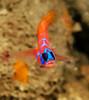 Blackeye goby<br /> Kevin's Reef, Palos Verdes, Los Angeles County, California