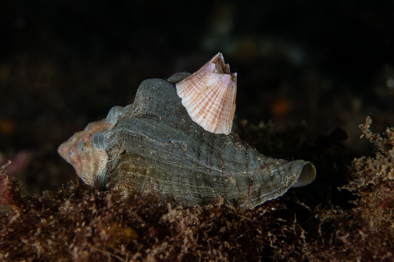 Pacific or red-striped acorn barnacle, Paraconcavus pacificus<br /> Biodome, Palos Verdes, Los Angeles County, California