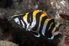 Juvenile treefish, Sebastes serriceps<br /> Golf Ball Reef, Palos Verdes, Los Angeles County, California