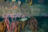 Black perch, Embiotoca jacksoni under piling<br /> Spongehenge, Hermosa Artificial Reef, Los Angeles County, California