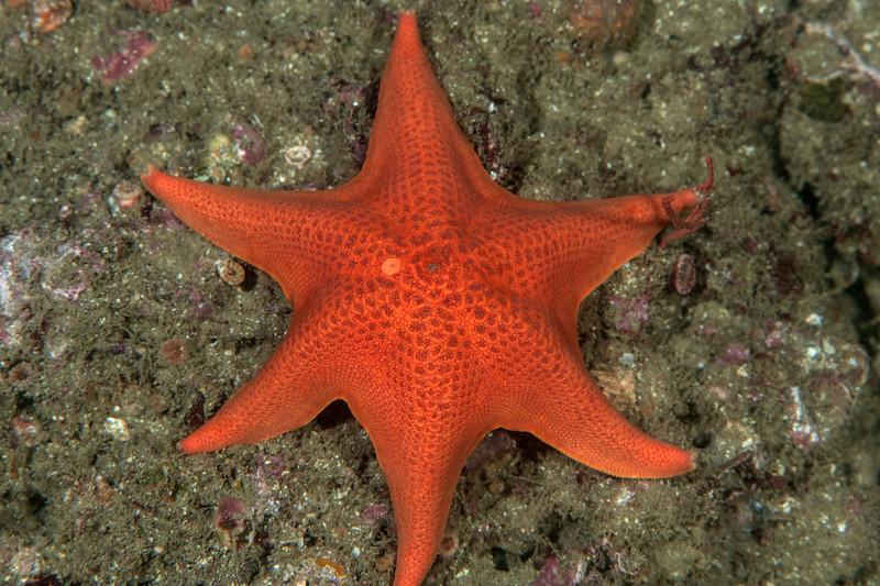 Bat star with 6 arms, Patiria miniata<br /> Hawthorne Reef, Palos Verdes, Los Angeles County, California