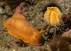 A surprisingly dark orange Baptodoris mimetica with oral tentacles insert<br /> Golf Ball Reef, Palos Verdes Peninsula, Los Angeles County, California