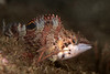 Painted greenling, Oxylebius pictus<br /> Golf Ball Reef, Palos Verdes, Los Angeles County, California