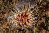 Urticina mcpeaki<br /> Kevin's Reef, Palos Verdes, Los Angeles County, California