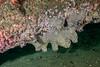 Gray moon sponge under piling<br /> Spongehenge, Hermosa Artificial Reef, Los Angeles County, California
