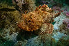 California scorpionfish shot with one strobe<br /> Torrance Reef, Torrance, Los Angeles County, California