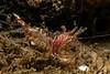 Pygmy shrimp, Eualus subtilis<br /> Golf Ball Reef, Palos Verdes, Los Angeles County, California