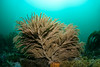 Golden gorgonian shot with one strobe<br /> Torrance Reef, Torrance, Los Angeles County, California
