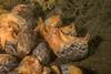 Gould's bubblesnails, Bulla gouldiana<br /> King Harbor, Redondo Beach, California