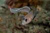 Male blackeye goby, Rhinogobiops nicholsii<br /> Golf Ball Reef, Palos Verdes, Los Angeles County, California