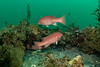 Typical topography with sheephead<br /> Torrance Reef, Torrance, Los Angeles County, California