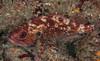 Brown rockfish
