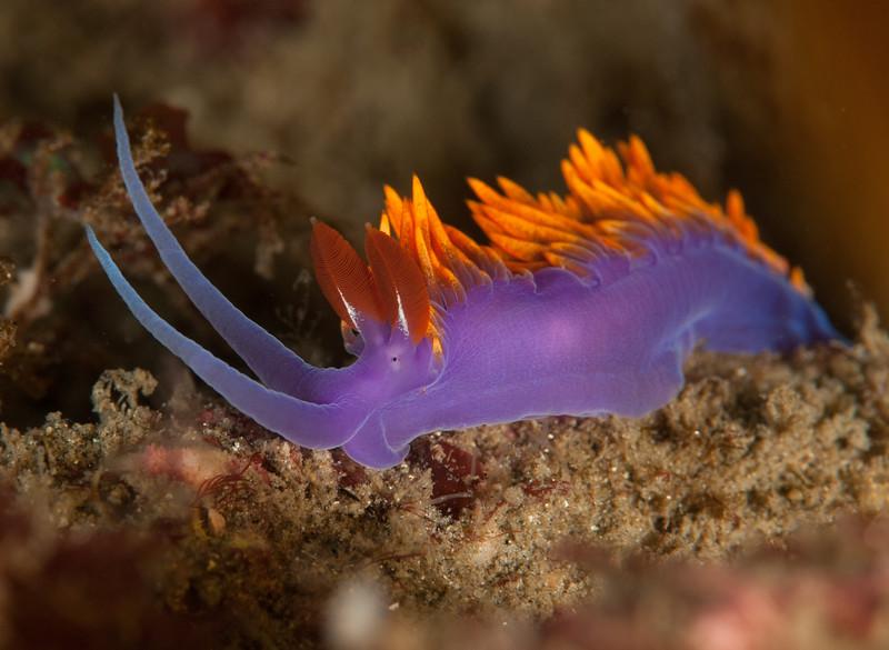 Flabellina iodinea