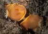 Baptodoris mimetica mating<br /> Golf Ball Reef, Palos Verdes, California