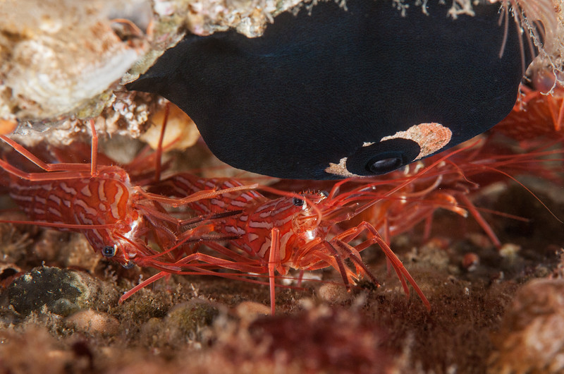 Red rock shrimp, Lysmata californica, giant keyhole limpet, Megathura crenulata