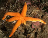 Blood star, Henricia sp.
