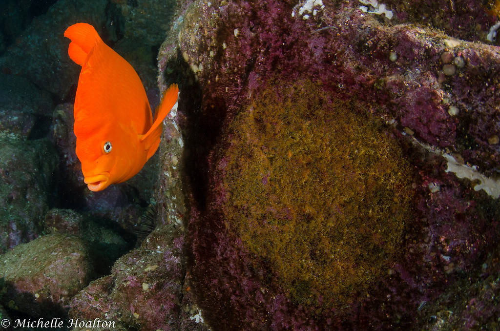 A common site this time of year is a large Garibaldi guarding near smooth rock-faces covered in eggs. These eggs look like they were recently laid, given their bright orange color. The eggs usually hatch in about 20 days from the day they were laid.