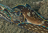 Navanax inermis mating<br /> King Harbor, Redondo Beach, Los Angeles County, California