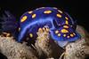 Felimare californiensis