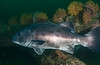 GSB 165<br /> Spongehenge, Hermosa Artificial Reef, Los Angeles County, California