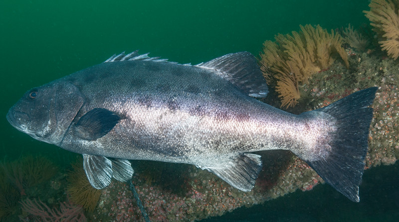 GSB 166<br /> Spongehenge, Hermosa Artificial Reef, Los Angeles County, California