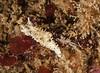 Aegires albopunctata<br /> Halfway Reef, Palos Verdes, California