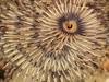 Bispira sp. worm<br /> Kevin's Reef, Palos Verdes, California
