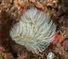 Bispira turneri worm<br /> ID thanks to Leslie Harris<br /> Halfway Reef, Palos Verdes, California