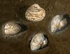 Bivalvia<br /> Venus calm, Genus Chiones<br /> <br /> King Harbor, Redondo Beach, Los Angeles County, California