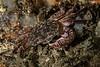 Crustacea<br /> Crab<br /> Striped shore crab, Pachygrapsus crassipes<br /> King Harbor, Redondo Beach, Los Angeles County, California