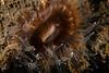 Cnidaria<br /> Brown cup coral, Paracyathus stearnsii<br /> King Harbor, Redondo Beach, Los Angeles County, California