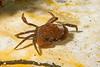 Crustacea<br /> Crab ID needed<br /> King Harbor, Redondo Beach, Los Angeles County California