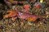 Olive snapping shrimp, Alpheus bellimanus, with eggs<br /> Barge, Redondo Beach, Los Angeles County, California