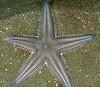 Spiny sand star, Astropecten armatus<br /> Portuguese Point, San Pedro, Los Angeles County, California
