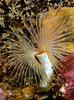 Protula worm<br /> Halfway Reef, Palos Verdes, Los Angeles County, California