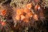 Colonial cup coral, Coenocyathus bowersi<br /> Biodome, Palos Verdes, California