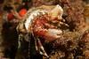 Widehand hermit crab, Phimochirus californiensis<br /> Garden Spot, Palos Verdes, California
