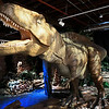 "An Acrocanthosaurus, the official dinosaur of the state of Oklahoma, is part of the exhibit ""Red Dirt Dinos: An Oklahoma Dinosaur Adventure,"" at Leonardo's Children's Museum. The exhibit runs through September and is included in the general admission. (Billy Hefton / Enid News & Eagle)"